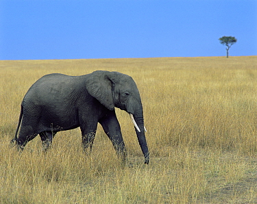 African elephant (Loxodonta africana) walking through long grasses, with a lone Acacia tree in the background, Masai Mara, Kenya