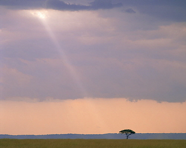 Ray of light falling on a lone Acacia tree in the Masai Mara, Kenya