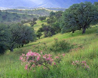 Velvet-pod mimosa (Mimosa dysocarpa) flanked by Blue oaks (Quercus oblongifolia) in the grassy foothills of the Atascosa Mountains, Coronado National Forest, Arizona