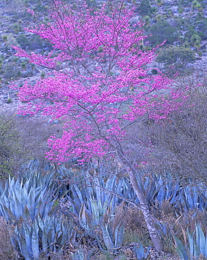 Flowering redbud (Cercis sp) amid agaves (Agave sp) on a north-facing hillside in the Chihuahuan Desert, Tamaulipas, Mexico