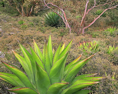 Agave (Agave montana) and Madrone (Arbutus sp) at an altitude of 9200ft at the top of El Borrado in the Sierra Madre Oriental, Mexico