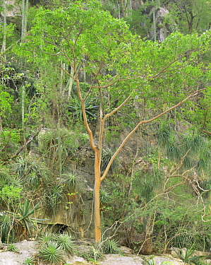 Servilletta Canyon's walls with Gumbo Limbo (Bursera simaruba) trees, bromeliads (Bromeliad sp), agaves (Agave sp) and Prickly pear cacti (Opuntia sp). Tamaulipas, Mexico