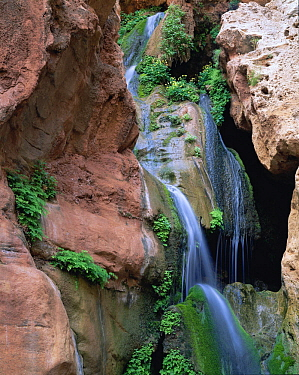 A waterfall cascades through Elves Chasm, amongst Cardinal Monkey flowers (Mimulus cardinalis), Golden Columbine (Aquilegia chrysantha) and Maidenhair ferns (Adiantum Capillus-Veneris). Grand Canyon N...