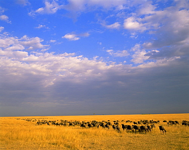 White-bearded Wildebeest migrating across grassland, against a stormy sky. Masai Mara National Reserve, Kenya