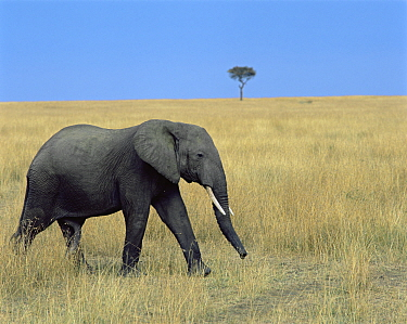 African elephant (Loxodonta africana) walking across grassland, with a lone acacia in the background. Masai Mara National Reserve, Kenya