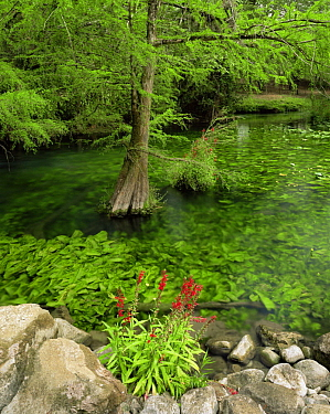 Flowering Lobelia (Lobelia cardinalis) beside a pool with submerged Yellow pond lily (Nuphar polysepala) and Cypress (Taxodium sp) in El Cielo Biosphere Reserve, Tamaulipas, Mexico