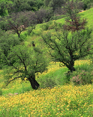 Summer poppies (Kallstroemia grandifolia) and oaks (Quercus sp) after record summer rains in the Coronado National Forest, Arizona