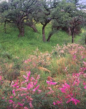 Velet-pod mimosa (Mimosa dysocarpa) flowering amongst Blue oak trees (Quercus oblongifolia) Atascosa Mountains, Coronado National Forest, Arizona, USA