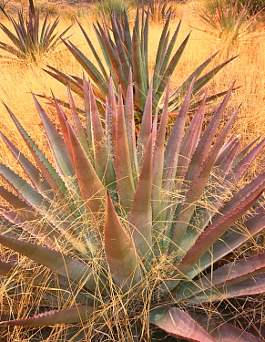 Agave (Agave palmeri) plants growing amongst long grass, Sands Ranch Conservation Area, Pima Country, Arizona, USA