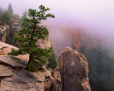 Pinyon pine (Pinus edulis) and Utah juniper (Juniperus osteosperma) on kaibab limestone spires in morning fog, North Rim, North Kalbab Trail, Grand Canyon National Park, Arizona, USA