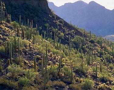 Saguaro cacti (Carnegiea gigantea) Sand Tank Mountains, Barry M. Goldwater Range, Arizona, USA