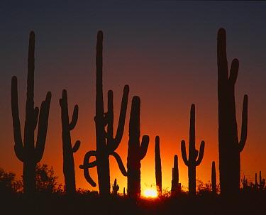 Saguaro cacti (Carnegiea gigantea) silhouetted at sunrise, Sand Tank Mountains, Sonoran Desert National Monument, Arizona, USA