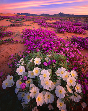 Birdcage evening primrose (Oenothera deltoides) and Desert sand verbena (Abronia villosa) flowering in desert, Pinta Sands, Sierra Pinta Mountains, Cabeza Prieta National Wildlife Refuge, Arizona, USA