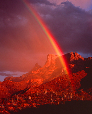 Rainbow at sunset over desert hillside with Saguaro cacti, Table Mountain in the distance, Pusch Ridge Wilderness, Coronado National Forest, Santa Catalina Mountains, Arizona, USA