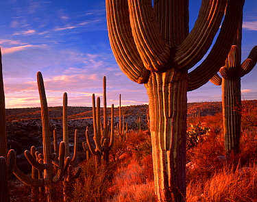 Saguaro cacti (Carnegiea gigantea) at sunset in the foothills of the Santa Catalina Mountains, near the Sutherland Wash, Catalina State Park, Arizona, USA