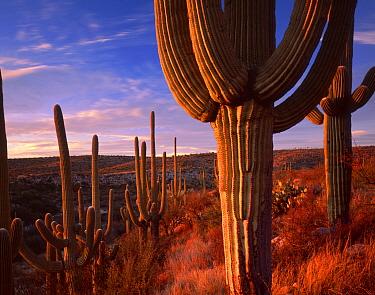 Saguaro cacti (Carnegiea gigantea) at sunset in the foothills of the Santa Catalina Mountains, near the Sutherland Wash, Catalina State Park, Arizona, USA