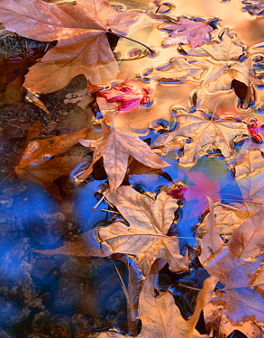 Leaves of Arizona sycamore (Platanus Wrightii) and Bigtooth maple (Acer saccharum grandidentatum) floating on water, South Fork Cave Creek, Coronado National Forest, Chiricahua Wilderness, Chiricahua...