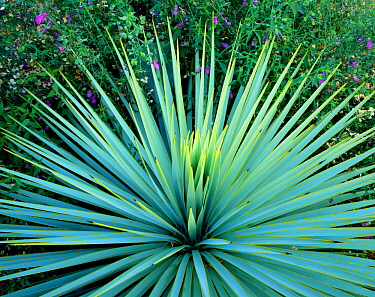 Dramatic rosette of spiked leaves of a Yucca plant, Tucson, Arizona, USA