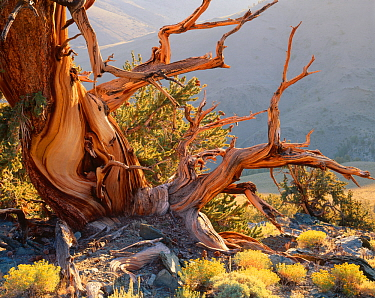 Twisted roots and trunk of Bristlecone pine {Pinus aristata var. longaeva} White Mountains, California, USA