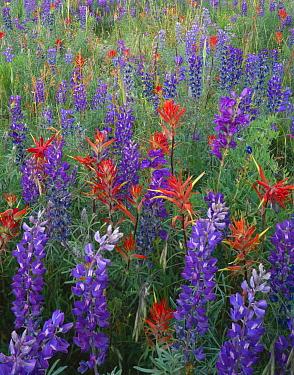 Wildflower meadow with Silvery lupin {Lupinus argenteus}, Indian paintbrush {Castilleja miniatus} and Alpine penstemon {Penstemon alpinus} Rio Grande National Forest, Colorado, USA