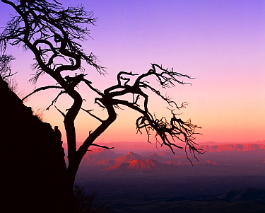 Silhouette at sunrise of contorted wind blown Mexican pinyon pine tree {Pinus cembroides}, Sierra del Carmen in the background, Coahuila, Mexico