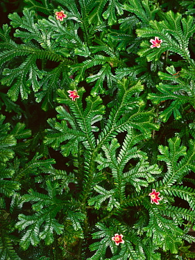 Pink flowers fallen from Marlberry tree (Ardisia sp) in the forest canopy above onto dense carpet of ferns, El triunfo Biosphere Reserve, Chaipas, Mexico