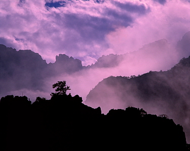 Silhouette of Mexican Pinyon pine tree on the Chisos Mountain ridge in fog, Big Bend National Park, Texas, USA
