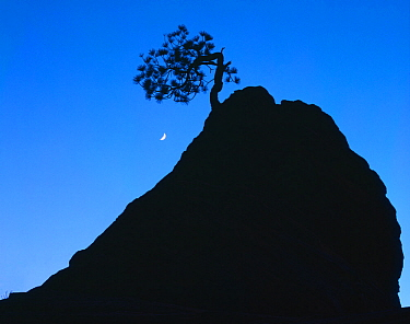 Silhouette of lone Ponderosa pine on a sandstone spire at dusk, with crescent moon, Zion National Park, Utah, USA