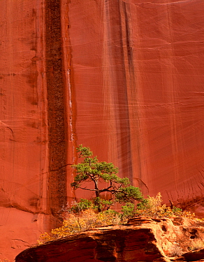 Lone Ponderosa pine tree {Pinus ponderosa} in front of canyon walls showing drip mark fractures, Long Canyon, Grand Staircase-Escalante National Monumnet, Utah, USA