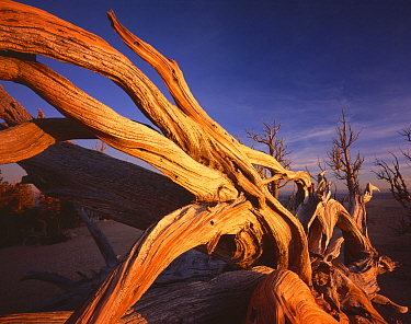 Twisted roots of Bristlecone pine {Pinus aristata var. longaeva} cling to cliff edge at Rainbow Point, Bryce Canyon National Park, Utah, USA