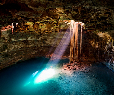 Cenote Samula (sink hole) with elongated roots of a Fig tree (Ficus sp) from ground level descending to the subterranian tourquoise coloured water below. Rays of sulight pass through the hole to illum...