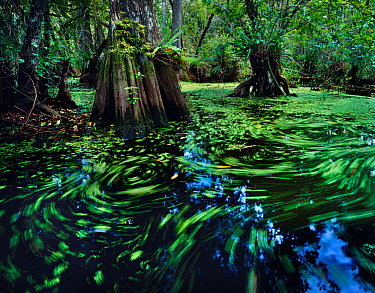 Cypress dome swamp with water surface covered with water-spangles and duckweed, Big Cypress Seminole Indian Reservation, Florida Everglades, USA