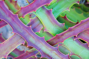 Hectia, a tropical bromeliad, stress coloured with blades grown in interlocking patterns, in the state of Yucatan, Mexico