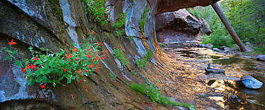 Cardinal monkey flowers line sculpted canyon wall with fallen Ponderosa pine in background, Red Rock Secret Mountain Wilderness, Arizona, USA