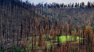 Life returning after seasonal rains to burnt forest, Apache-Sitgreaves National Forest devastation of the 'Wallow Fire', Arizona, USA August 2011