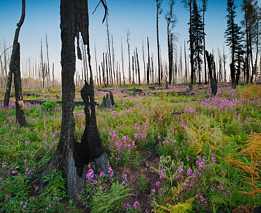Charred remains of Aspen-fir forest near Hannagan's Meadow, at sunset with fireweeds growing in profusion amidst felled trees, Apache-Sitgreaves National Forest, Arizona, USA September 2011