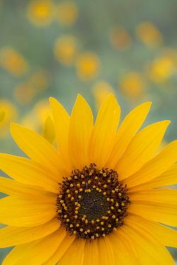 Sunflower flower (Helianthus petiolaris) at  Sunset Crater National Monument, Arizona