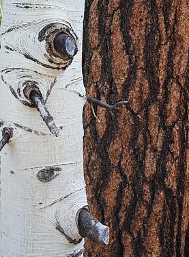 Bark patterns of Aspen tree (Populus tremula) in front of a Ponderosa pine (Pinus ponderosa) trunk, Kaibab National Forest, Arizona, USA