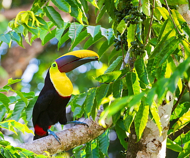 Chestnut mandibled toucan (Ramphastos ambiguus swainsonii) in tropical rainforest canopy with beech almond fruit. Osa Peninsula, Costa Rica