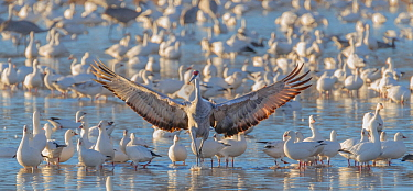 Sandhill crane (Grus canadensis) landing in icy pond filled with snow geese  (Chen caerulescens) Bosque del Apache, New Mexico.   January 2013
