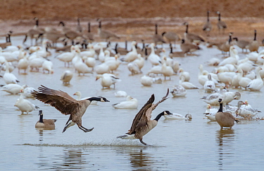 Canada geese (Branta canadensis)  and snow geese (Chen caerulescens) in the waters of Cibola during mid-morning. Cibola National Wildlife Refuge, Arizona.  January 2013