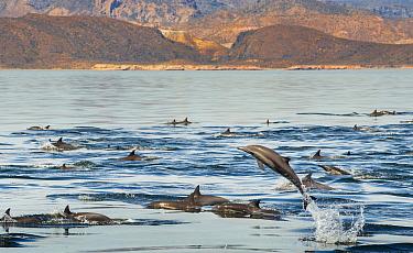 Common Dolphins (Delphinus delphis) porpoising near Isla Animas, Sea of Cortez, Baja Sur, Mexico.