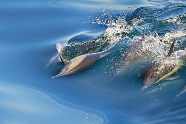 Common Dolphins (Delphinus delphis) swimming near Isla Animas, Sea of Cortez, Baja Sur, Mexico.
