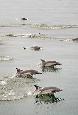 Common Dolphins (Delphinus delphis) swimming / porpoising near Isla Animas, Sea of Cortez, Baja Sur, Mexico.
