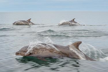 Bottlenose dolphins (Tursiops truncatus) near Isla Animas, Sea of Cortez, Baja Sur, Mexico.