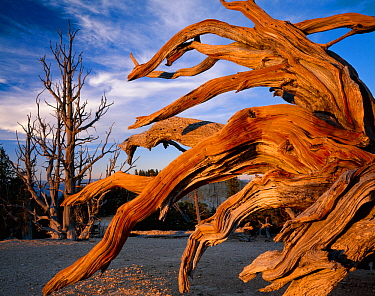 Bristlecone pine (Pinus aristata var.  longaeva) gnarled branches of an old tree,  Bryce Canyon National Park, Utah, USA.
