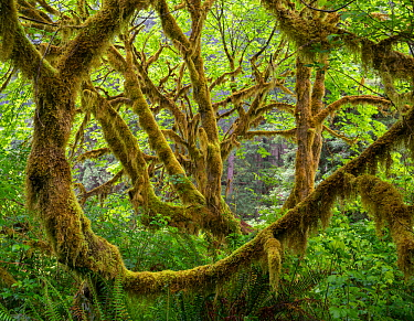 Big leaf maple (Acer macrophyllum) trees covered in moss and surrounded by sword ferns form a maze of tree trunks.  Prairie Creek Redwoods State Park, California, USA, May.