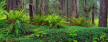 Towering Coastal redwoods (Sequoia sempervirens) rising from forest understory of sword ferns and sorrel, Prairie Creek Redwoods State Park, California, May.
