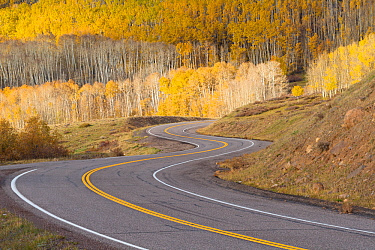 Road winding through aspen trees (Populus tremuloides) in autumn, Dixie National Forest, Boulder Mountain, Utah. October 2013.