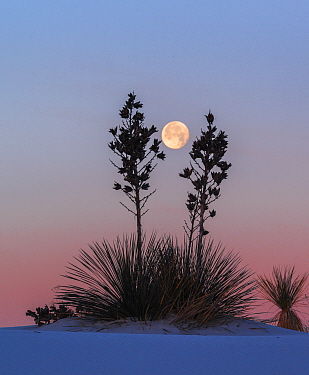 Yuccas (Yucca elata) silhouetted against the moon and morning light, White Sands National Monument, New Mexico. January.